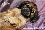 Picture of AKC Shaded Red LH, Sweet Lil Gina