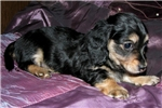 Picture of AKC Black & Cream LH, Sweet & Kissy