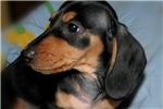 Picture of AKC Black & Tan, LIl Ball of Energy