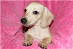 Picture of Peter, AKC Cream Smooth, Spunky Fun Lil Guy
