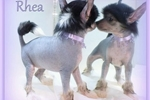 Picture of Rhea - Chinese Crested Hairless