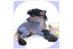 Picture of Holly - Hairless Female