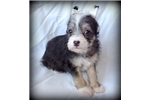 Picture of Olivia - Powderpuff Female Chinese Crested