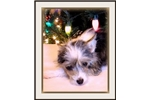 Picture of Leda - Chinese Crested Powderpuff