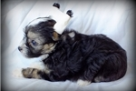 Picture of Jett - Powderpuff Male Chinese Crested