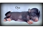 Picture of Oya - Chinese Crested Hairless