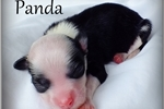 Picture of Panda - Powderpuff Male Chinese Crested