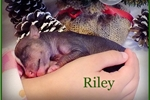 Picture of Riley - Chinese Crested