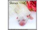 Picture of Shirazi