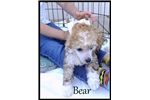 Picture of Bear - Powderpuff Male Chinese Crested