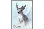 Picture of Dixon - Hairless Male Chinese Crested
