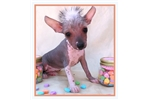 Picture of Emma - Hairless Female