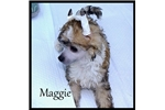 Picture of Maggie - Powderpuff Female Chinese Crested