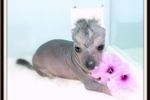 Picture of Plato - Chinese Crested Hairless