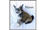 Picture of Mason - Powderpuff Male Chinese Crested