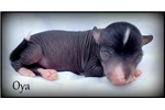 Oya - Chinese Crested Hairless | Puppy at 1 week of age for sale