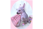 Picture of Alice - Hairless Female