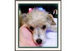 Picture of Theia - Chinese Crested Powderpuff