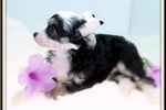Picture of Socrates - Chinese Crested Powderpuff