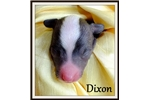 Picture of Dixon - Powderpuff Male Chinese Crested