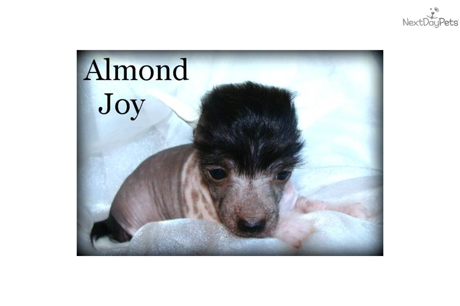 meet almond joy a cute chinese crested puppy for sale for