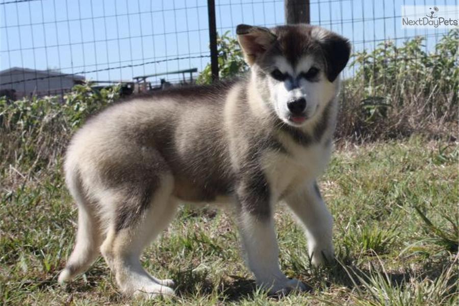 Alaskan malamute puppy for sale near tyler east tx texas 93af4713