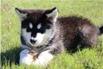 Picture of Lone Star Alaskan Malamutes
