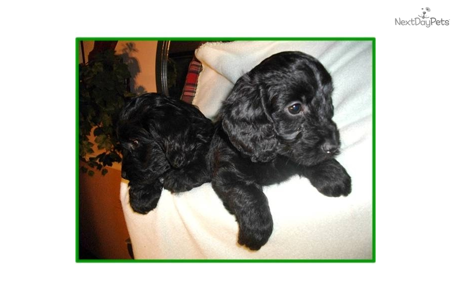 Meet Female A Cute Dachshund Puppy For Sale For 850