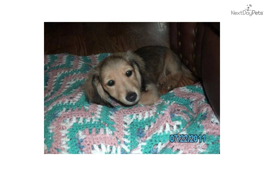 Shaded Cream Dachshund Puppies http://www.nextdaypets.com/directory/dogs/5cf87d44-dfa1.aspx