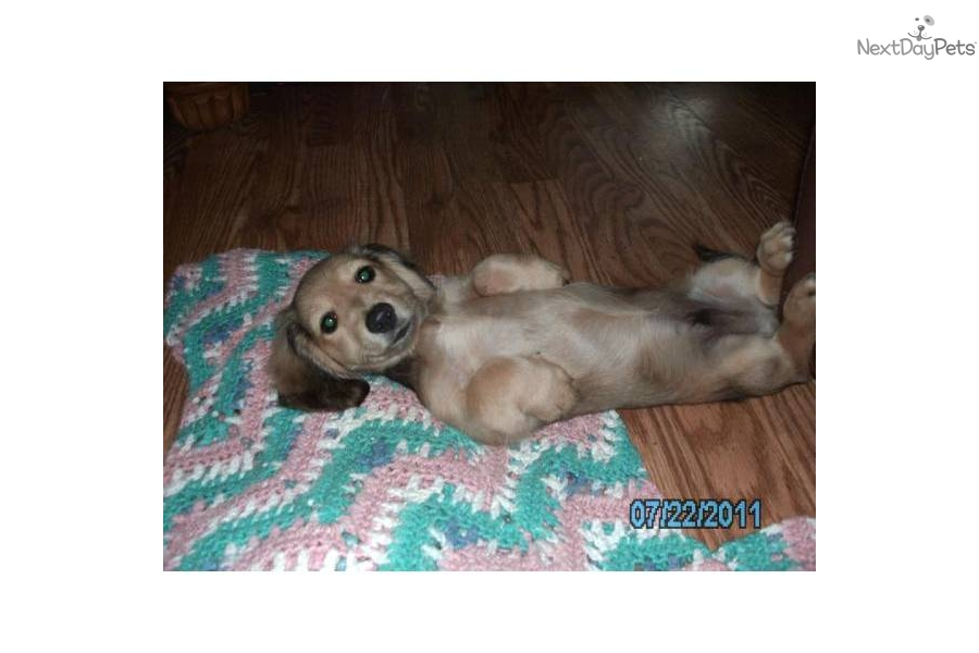 Shaded Cream Dachshund Puppies http://www.nextdaypets.com/directory/dogs/bb1da0d6-2411.aspx