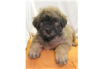 Picture of a Bouvier Des Flandres Puppy