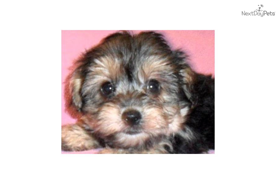 Blonde Yorkie Poo Related Keywords & Suggestions - Blonde Yorkie Poo ...