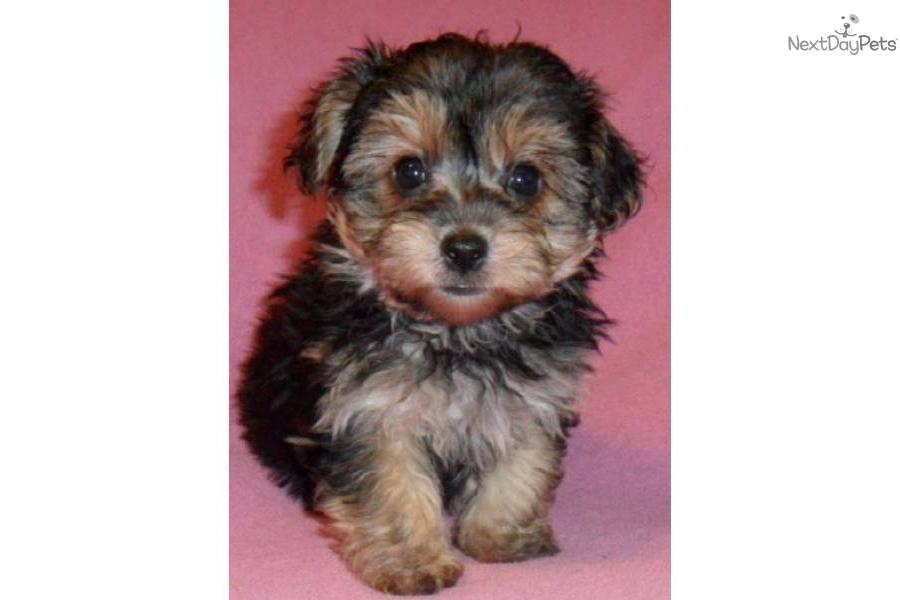 Yorkie poo | Cute Animals | Pinterest | Yorkie