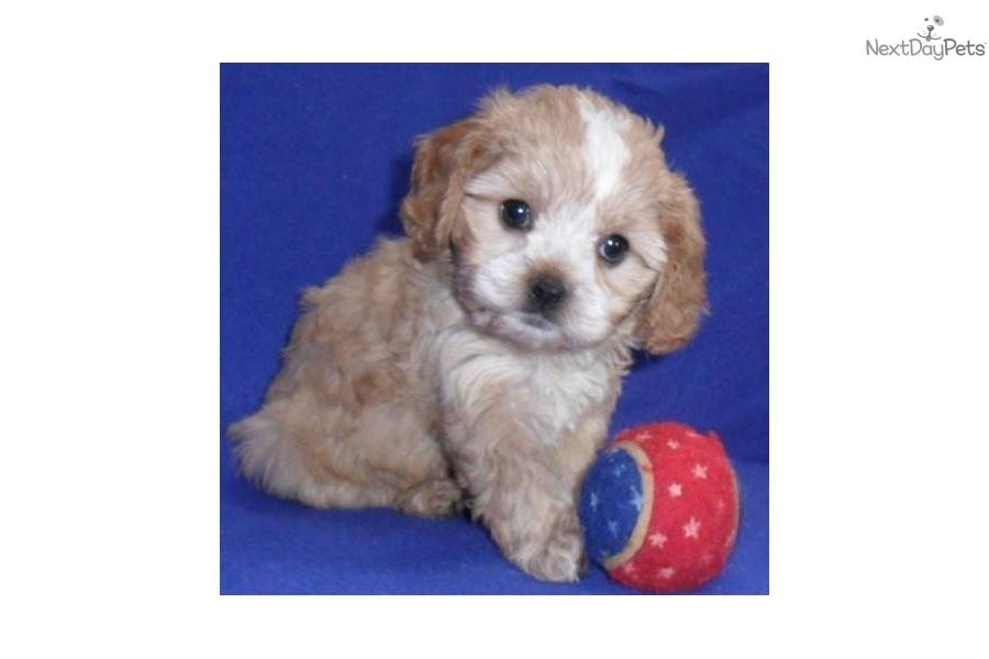 Small Dogs For Sale In Akron Ohio