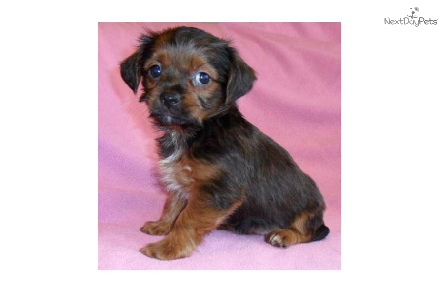 Shorkie Puppies What Is A Shih Poo   Dog Breeds Picture