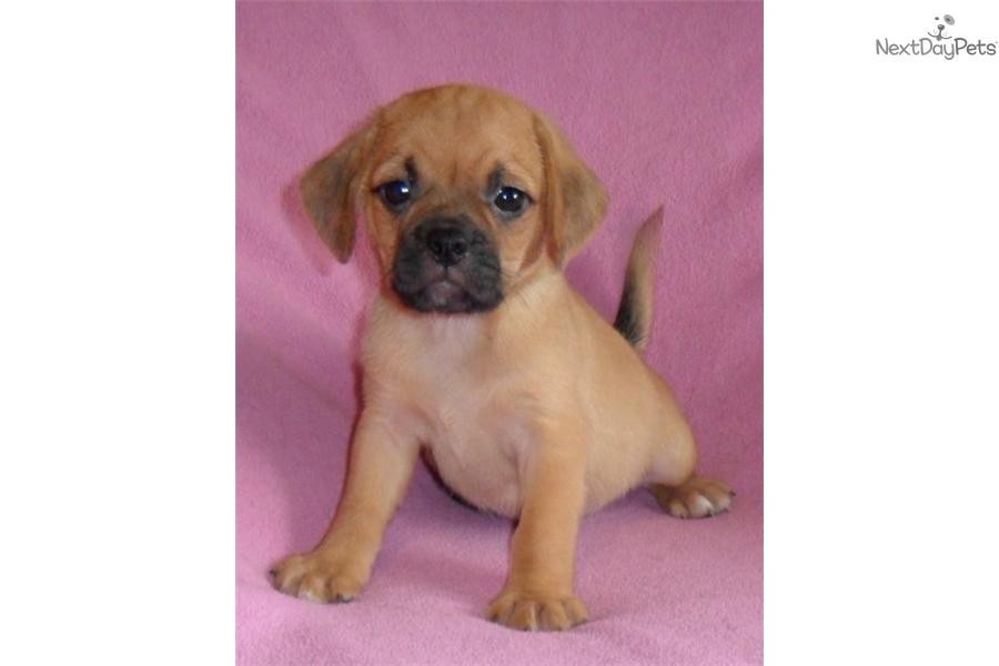puggle puppy breeders in ohio