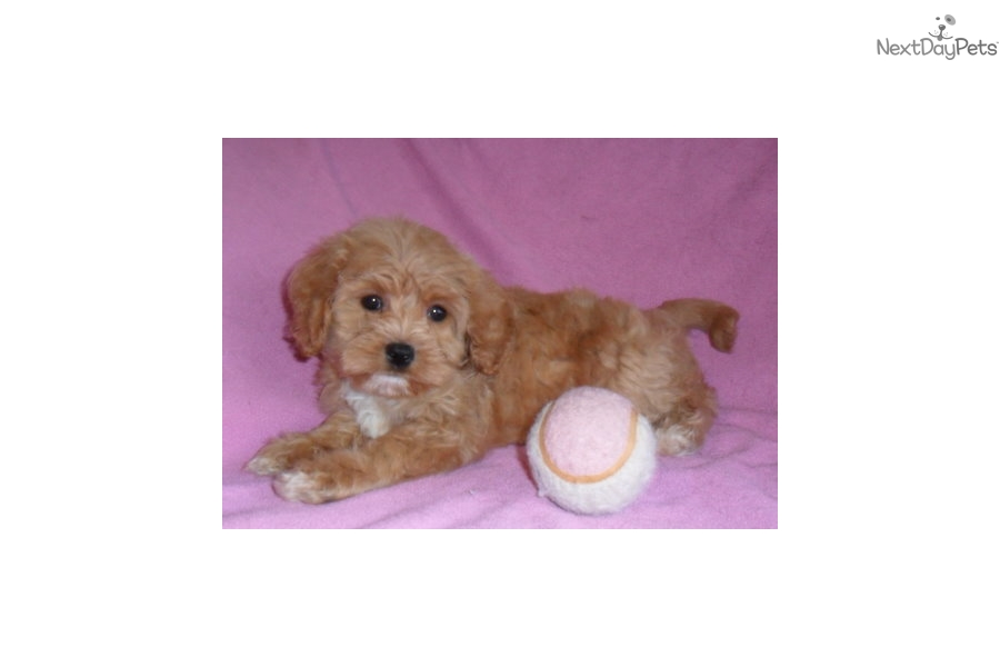 Schnoodle puppy for sale near mansfield ohio 1a959faf 7f21
