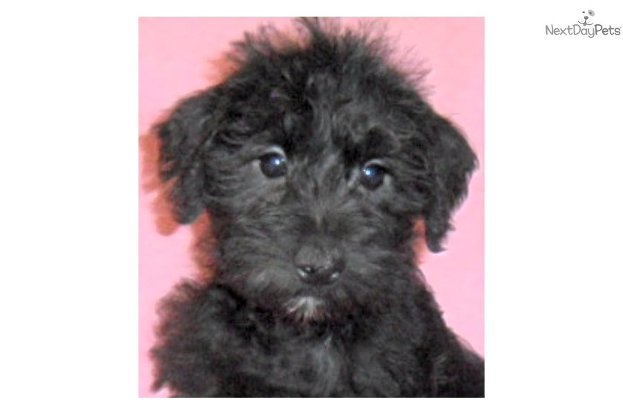 Meet Sassafrass a cute Schnoodle puppy for sale for $400. Sassafrass ...