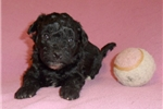 Picture of Raven, Female Bich Poo puppy for Sale in Ohio