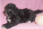 Picture of Violet, Female Bich Poo puppy for Sale in Ohio