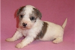 Picture of Ellie, Female Bich Poo puppy for Sale in Ohio