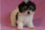 Picture of Olive, Female BichPoo/PooChpuppy for Sale in Ohio