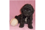 Picture of Rose, Female Bich Poo puppy for Sale in Ohio