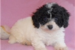 Picture of Dolly, Female BichPoo/PooChpuppy for Sale in Ohio