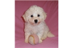 Picture of FiFi, Female Bich Poo puppy for Sale in Ohio
