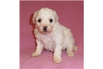 Picture of Taffy, Female Bich Poo puppy for Sale in Ohio
