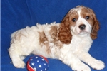 Picture of Candy, Female Cockapoo puppy for Sale in Ohio
