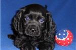 Picture of Smokie, Male Cockapo puppy for Sale in Ohio