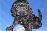 Picture of Onyx, Male Cockapo puppy for Sale in Ohio
