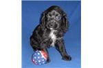 Picture of Duncan, Male Cockapo puppy for Sale in Ohio